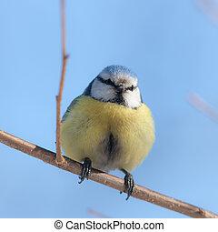 blue tit on branch close up