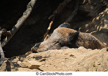 Portrait of a boar sleeping on the ground