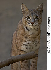 Portrait of a Bobcat - 3/4 length portrait of a bobcat,...