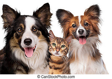 portrait of a border collie a cat and a Papillion dog