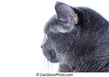 Portrait of a british cat in profile on a white background.