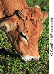 Portrait of a brown cow
