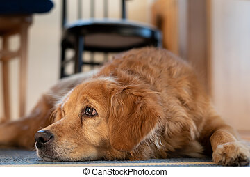 Portrait of a brown dog lying under the table