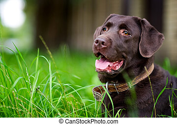 portrait of a brown labrador in the grass. Copy space