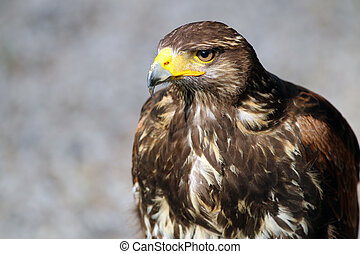 Portrait of a buzzard with a grey background