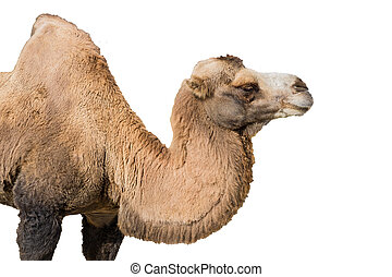 Portrait of a camel isolated on white background
