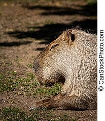 Portrait of a capivara sleeping in a zoo