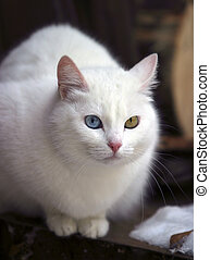 Portrait of a cat with different eyes - Illustration to...