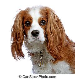 Portrait of a Cavalier King Charles Spaniel. - Cavalier King...