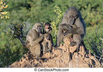 Portrait of a chacma baboon family