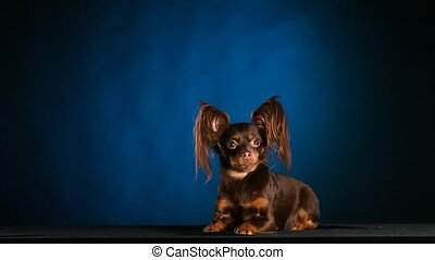 Portrait of a charming Russian toy terrier with large shaggy ears, lying and shivering from the cold. The dog poses in the studio on a blue black gradient background. Slow motion. Close up