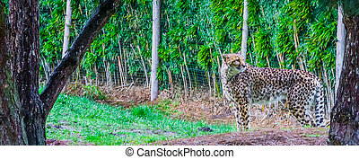 portrait of a cheetah standing in the grass, threatened cat specie from Africa