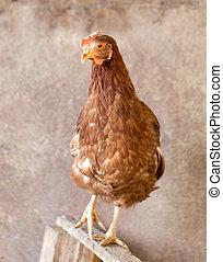 portrait of a chicken farm