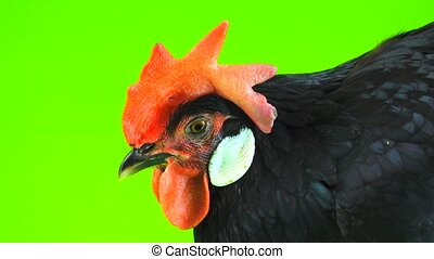 portrait of a chicken on a green screen