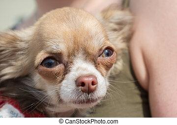 Portrait of a Chihuahua dog - Nahaufnahme der mexikanischen...