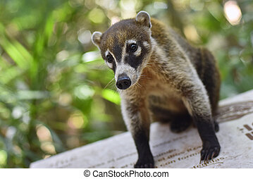 Portrait of a Coati in its natural environment #2
