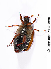 portrait of a cockchafer (Melolontha melolontha) - portrait...
