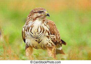 Portrait of a common buzzard on the grass