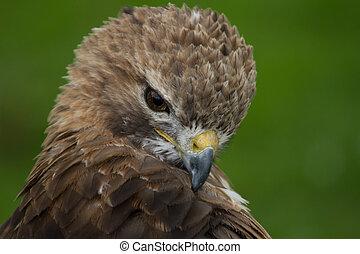 portrait of a Common buzzard