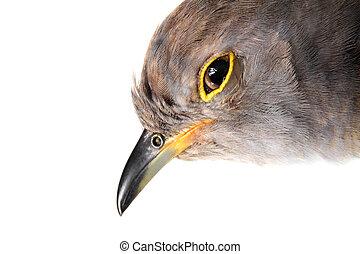 Portrait of a Common Cuckoo