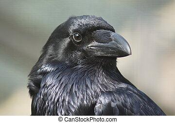 Common Raven - Corvus corax - Portrait of a Common Raven - ...