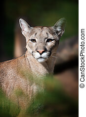Portrait of a cougar, mountain lion, puma