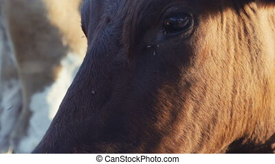 portrait of a cow close-up on a farm