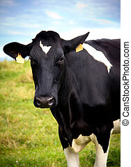 cow - portrait of a cow in a meadow