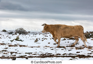 cow on the background of snow