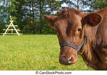 Portrait of a cow on the field in the summer evening