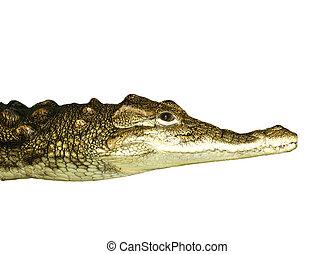 portrait of a crocodile on white background