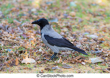 portrait of a crow in autumn