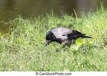 crow in the green grass
