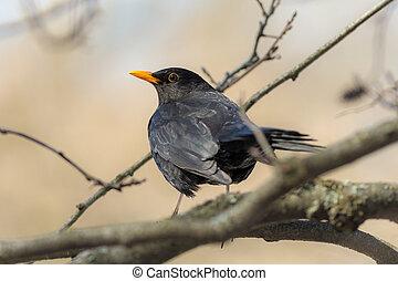 curious blackbird on a branch