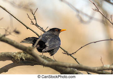 portrait of a curious blackbird