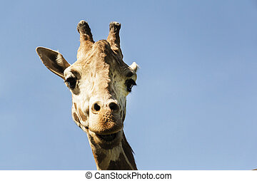 Portrait of a curious giraffe on a blue sky background.