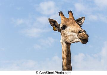 Portrait of a curious giraffe on blue sky background
