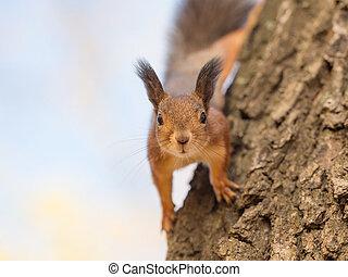 portrait of a curious squirrel closeup