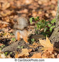 curious squirrel in autumn