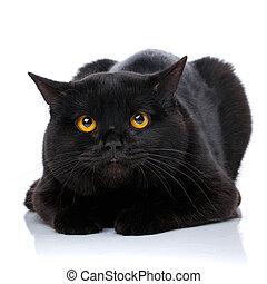 Portrait of a cute black cat Scottish Straight