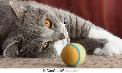 British Shorthair Cat - Portrait of a cute British Shorthair...