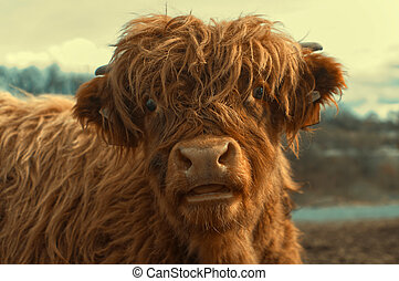 Portrait of a cute highland cattle.