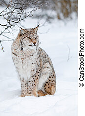 Portrait of a cute lynx cub in the cold winter forest
