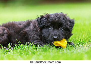 portrait of a cute Old German Shepherd puppy with ball in the snout