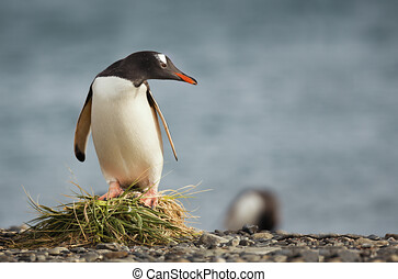 Portrait of a cute penguin on some twigs, penguino on some rocks looking at the camera