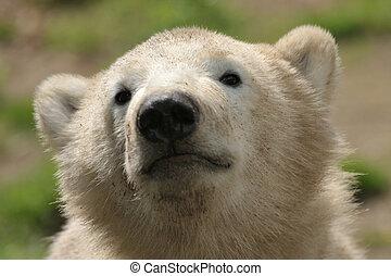 cute polar bear cub - portrait of a cute polar bear cub