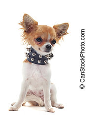 portrait of a cute purebred chihuahua with studded collar in front of white background