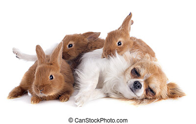 chihuahua and bunnies