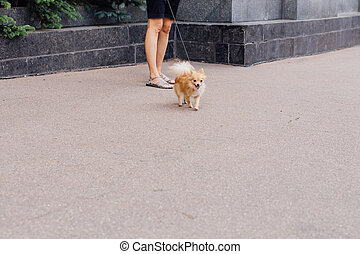 Portrait of a cute spitz-dog on the street