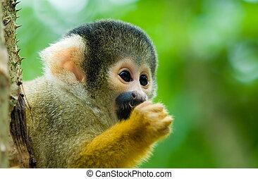 portrait of a cute squirrel monkey (Saimiri) subfamily: saimiriinae